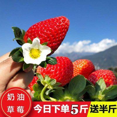 露天奶油草莓5斤新鲜应季孕妇水果烘焙冬草莓装饰3斤当季整箱牛奶