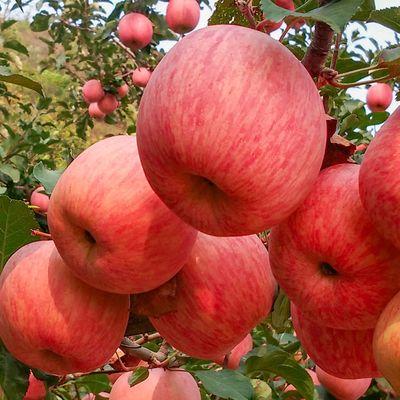 陕西苹果红富士5/10斤冰糖心脆甜丑苹果新鲜应季水果年货批发整箱