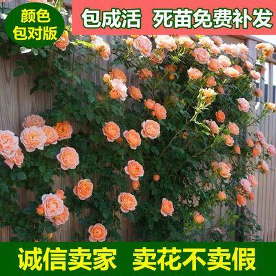 蔷薇花苗藤本月季大花浓香庭院爬藤植物花卉盆栽欧月玫瑰四季开花