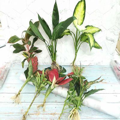 小盆栽水培植物花卉绿植室内吸除甲醛净化空气办公室迷你桌面