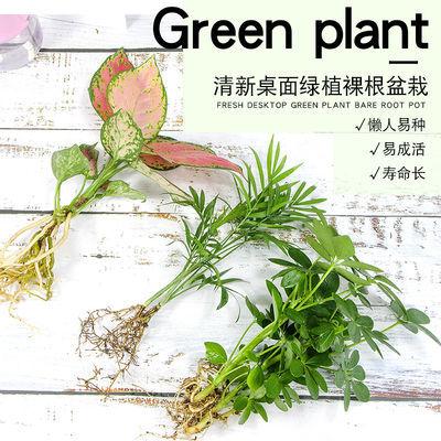 水培绿植水养绿萝袖珍椰子如意吉利红万年青室内微型绿色园艺盆栽