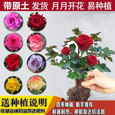 玫瑰花苗盆栽四季开花室内外阳台客厅绿植花卉大花浓香型月季包邮