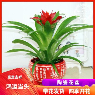 【带花发货】盆栽水培植物红星凤梨花卉绿植水养植物室内鲜花盆栽