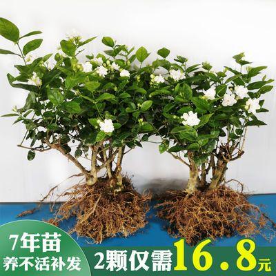 茉莉花苗盆栽重瓣观花植物绿植室内花卉四季植物开花好养净化空气