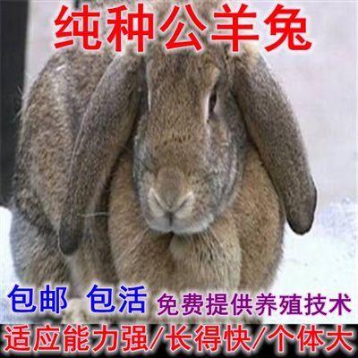巨型活体纯种公羊兔苗大型喜马拉雅肉兔拉尔夫活体公羊兔兔苗包邮【5月28日发完】