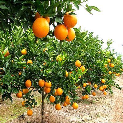 金桔砂糖橘子树苗盆栽苹果树苗南北方种植室内花卉庭院绿植物四季