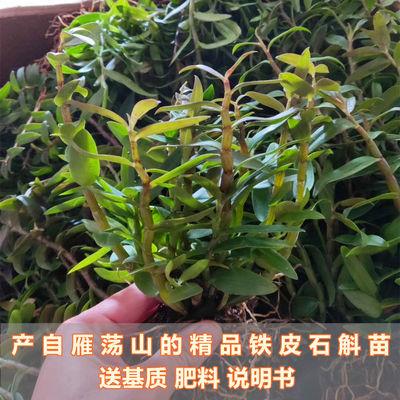 铁皮石斛苗盆栽雁荡山铁皮石斛苗可食用种植仿野生绿植花卉鲜吊兰
