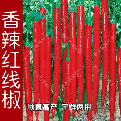 8819红线椒种子香辣杭椒美人椒辣椒种籽春四季播高产抗病蔬菜种子