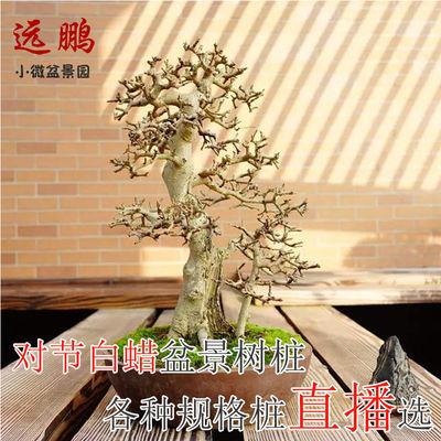 对节白蜡盆景熟桩小中型阳台树桩室内绿植盆栽造型桩新鲜树桩好养