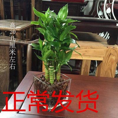 富贵竹水养培观音竹节节高玻璃花瓶盆栽植物室内客厅办公绿植花卉
