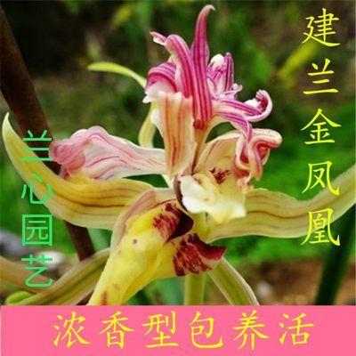 兰花苗盆栽名贵精品浓香型花卉建兰《金凤凰》绿植  花卉室内盆栽