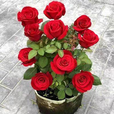 浓香型玫瑰花苗盆栽四季开花室内外绿植花卉植物月季花苗大花好养