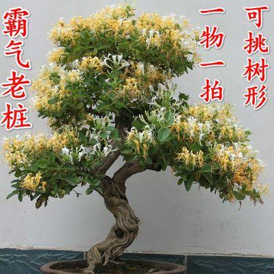 金银花苗树苗盆栽爬藤植物老桩室内庭院攀爬食用药用四季开花好养