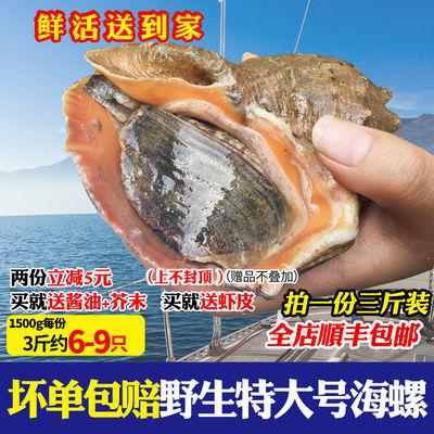 顺丰包邮新鲜特大海螺野生红香螺大号黄金螺尖螺鲜活海鲜贝类水产