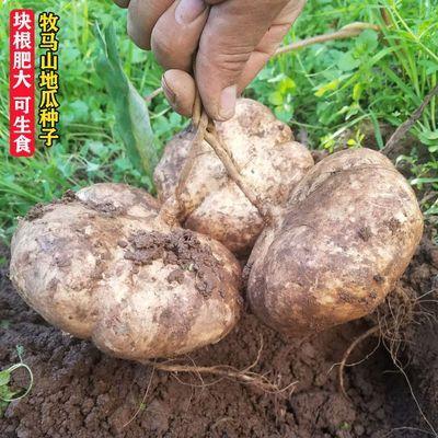 牧马山地瓜种子早熟品种凉薯种子沙葛土瓜水果种四季播甘薯番薯种【2月22日发完】