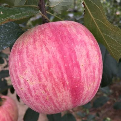 正宗陕西红富士苹果脆甜10斤5斤3斤不打蜡苹果新鲜水果批发包邮