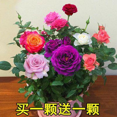 买一送一浓香玫瑰花苗四季开花客厅室内外月季花苗盆栽花卉绿植物