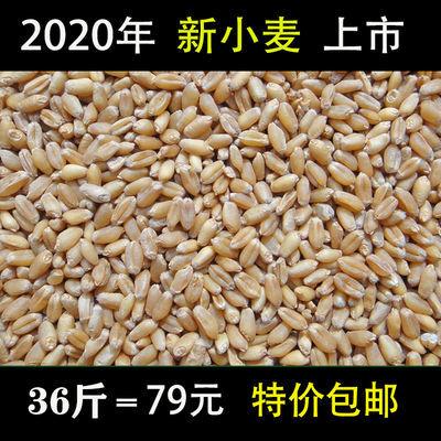 农家自产小麦带皮小麦颗粒杂粮鱼饵饲料麦子钓鱼打窝鸡鸭鹅鸟饲料