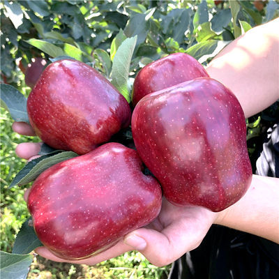 【10斤特价】甘肃天水花牛苹果蛇果宝宝老人辅食新鲜水果粉甜3斤