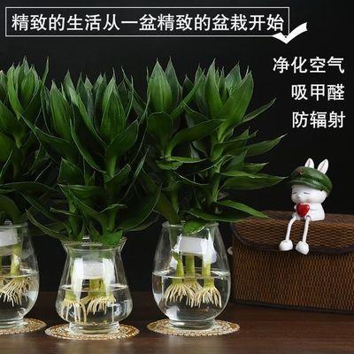 【广东热销】富贵竹观音竹水养水培荷花盆栽植物室内客厅绿植花卉