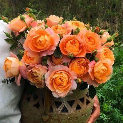 欧洲月季花苗藤本月季爬藤蔷薇花苗四季开花大花浓香盆栽绿植花卉