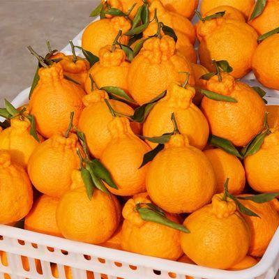 四川丑橘不知火丑八怪应当季新鲜水果包邮2/5/10斤耙耙丑桔橘柑子