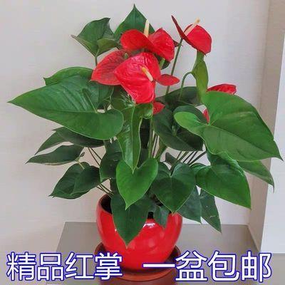 红掌火鹤绿植花卉盆栽室内植物四季开花吸甲醛防辐射净化空气