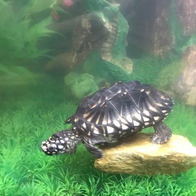 满天星宠物龟,鱼缸鱼池新宠物,观赏好看,互动性强,漂亮极了!