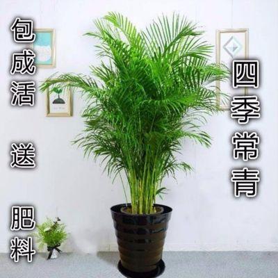 散尾葵凤尾竹袖珍椰盆栽室内客厅四季常青吸甲醛植物净化空气绿植
