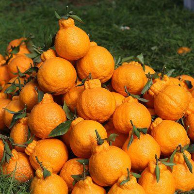 新鲜丑橘10斤装不知火丑桔丑柑丑八怪四川柑橘水果当季批发5/10斤