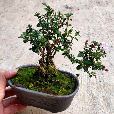 提根金边六月雪造型老桩花卉盆栽绿植室内好养会开花盆景鲜花植物