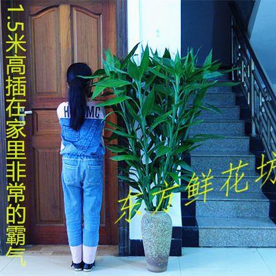 基地大号富贵竹粗水养绿植物吸甲醛室内办公室客厅盆栽花卉净化气