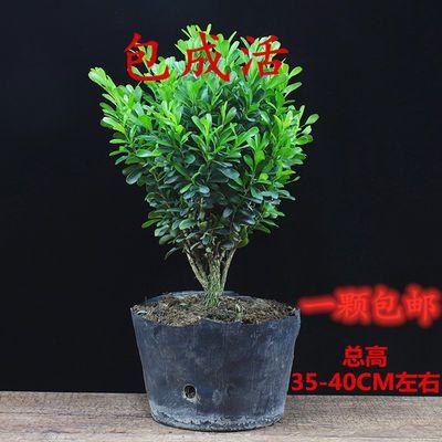 黄杨盆景植物办公室内盆栽四季常青好养客厅花卉庭院树苗桌面绿植