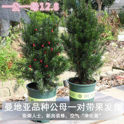 南方红豆杉树苗曼地亚盆栽绿植物带果室内花卉吸甲醛净化空气庭院