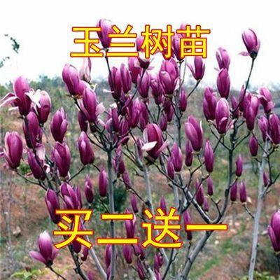 【买二送一】玉兰树苗紫玉兰红玉兰兰花苗白兰花庭院花卉盆栽树苗