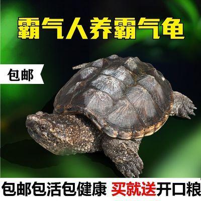 鳄龟活体杂佛北美小鳄龟活物大乌龟凶猛宠物龟 送龟粮包邮