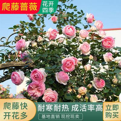 蔷薇苗爬藤爬墙花苗四季开花藤本月季玫瑰花苗耐寒花卉绿植盆栽