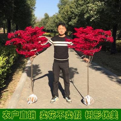 买一送二红枫树苗红枫苗四季红日本红枫美国红枫中国红叶枫树苗