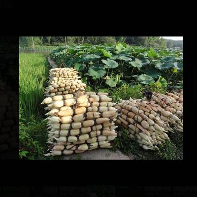 莲藕种植技术藕鱼混养技术大全高产14套视频教程32GU盘+1图书