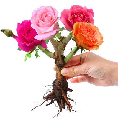 【买一送一】嫁接玫瑰花苗盆栽浓香型四季开花室内外月季花大花卉