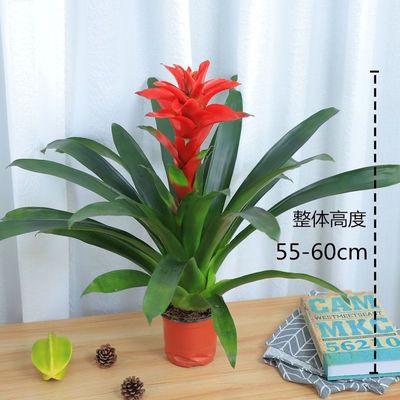 鸿运当头盆栽水培植物四季长青吸甲醛净空气室内客厅桌面绿植花卉