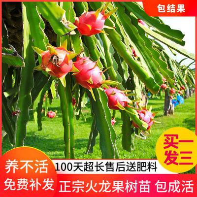 【买1棵送2棵】红心火龙果树苗盆栽南北方室内种植包成活当年结果