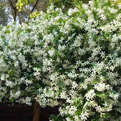 白色爬藤风车茉莉芳香花卉绿植盆栽植物洛石藤万字茉莉银丝茉莉