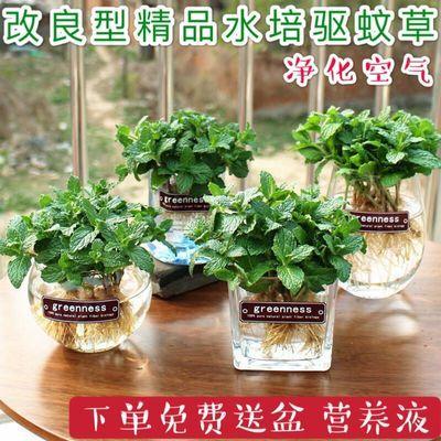 薄荷盆栽可食用室内水养驱蚊水培植物办公室桌面花卉绿植薄荷叶