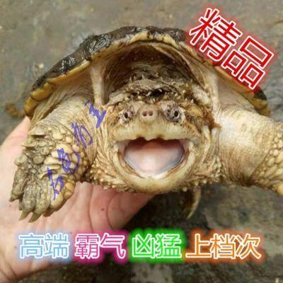 乌龟 活体宠物龟 鳄龟活体 北美鳄龟苗 爆刺凶猛 纯佛真鳄 大鳄龟