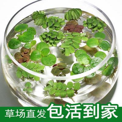 鱼缸浮萍水草活体水生植物浮性除NO3净化水质微景观水族箱满包邮