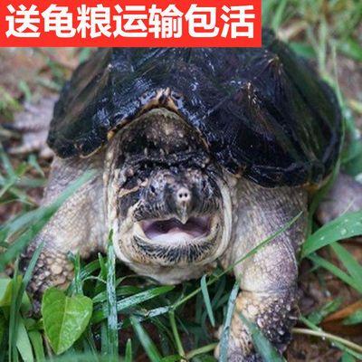 北美小鳄龟活体外塘乌龟杂佛鳄龟苗大型龟宠物龟观赏水龟4-15厘米