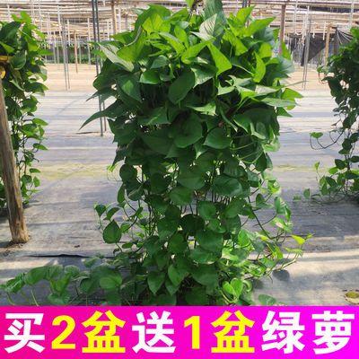 大盆绿萝盆栽净化空气植物绿箩绿植吊兰长藤大叶吸水盆室内除甲醛