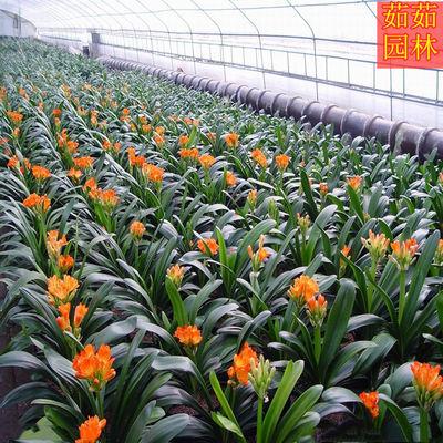 精品君子兰花苗带花苞大苗盆栽花卉圆头和尚四季绿植室内好养易活