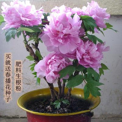 带芽发货 买1送1 牡丹花苗盆栽室内庭院花卉绿植芍药花洛阳牡丹花